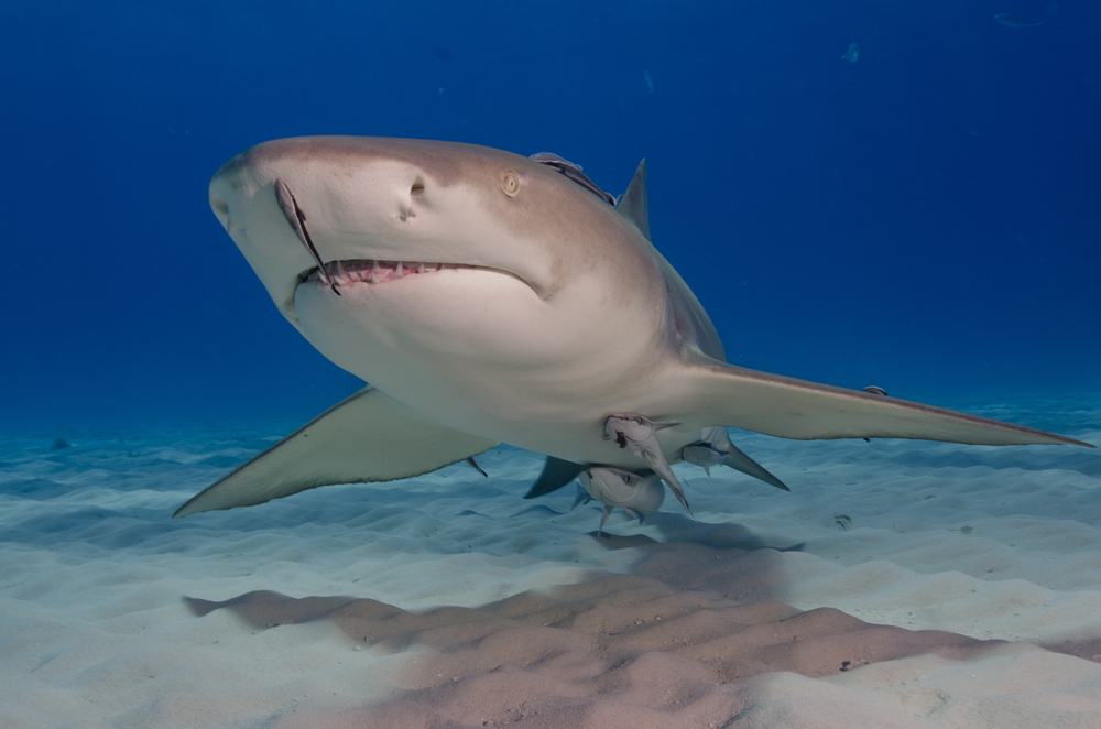 A Lemon Shark : Human attacks on sharks