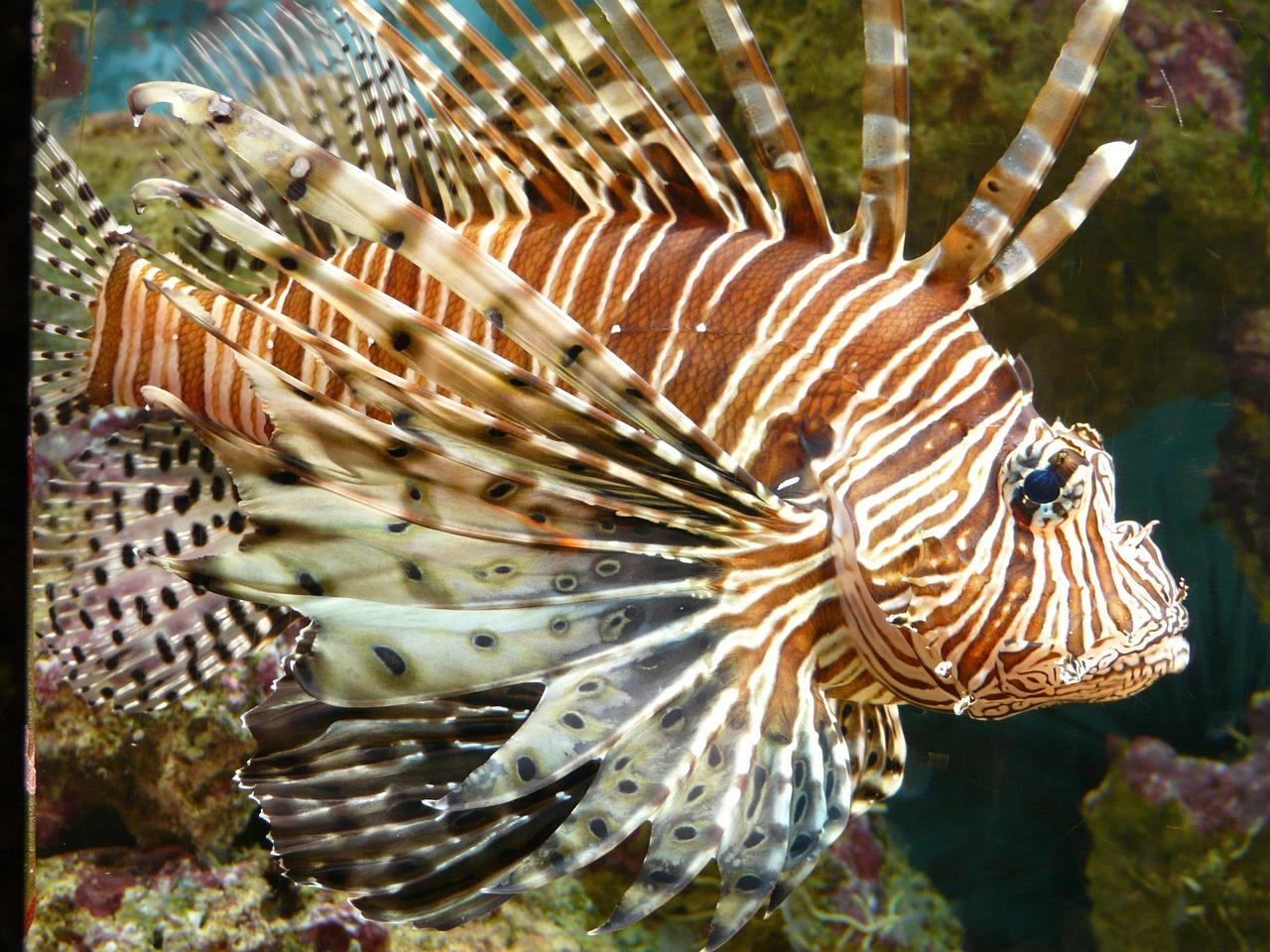 lionfish; dangerous sea cretaures