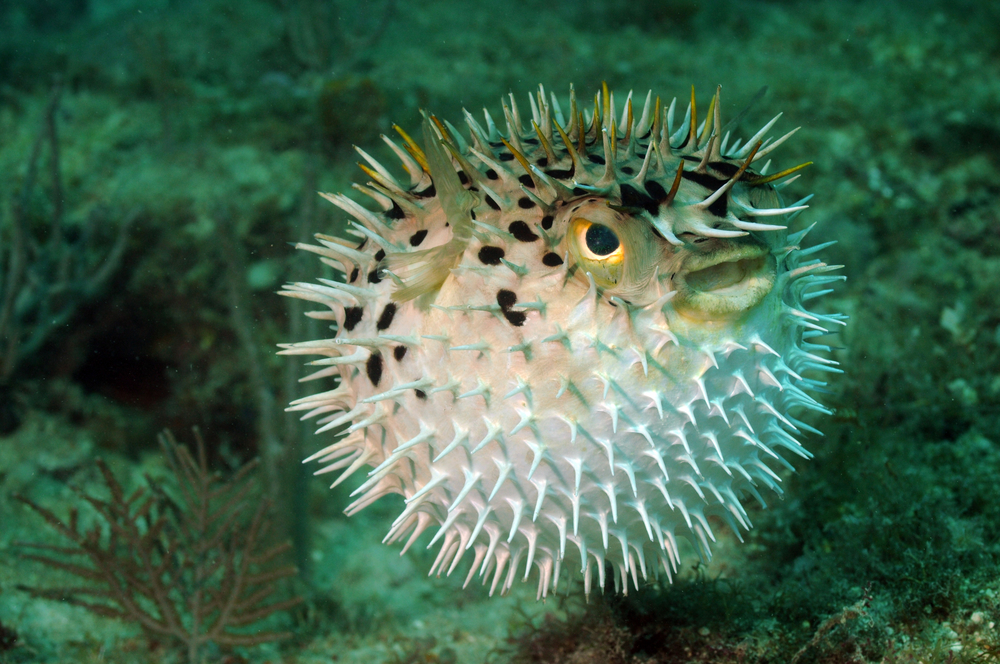 Pufferfish or Blowfish