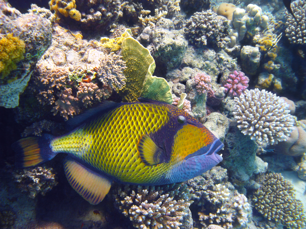 Titan Triggerfish; Dangerous sea creatures